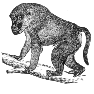 Attractive black-and-white baboon standing on branch tattoo design