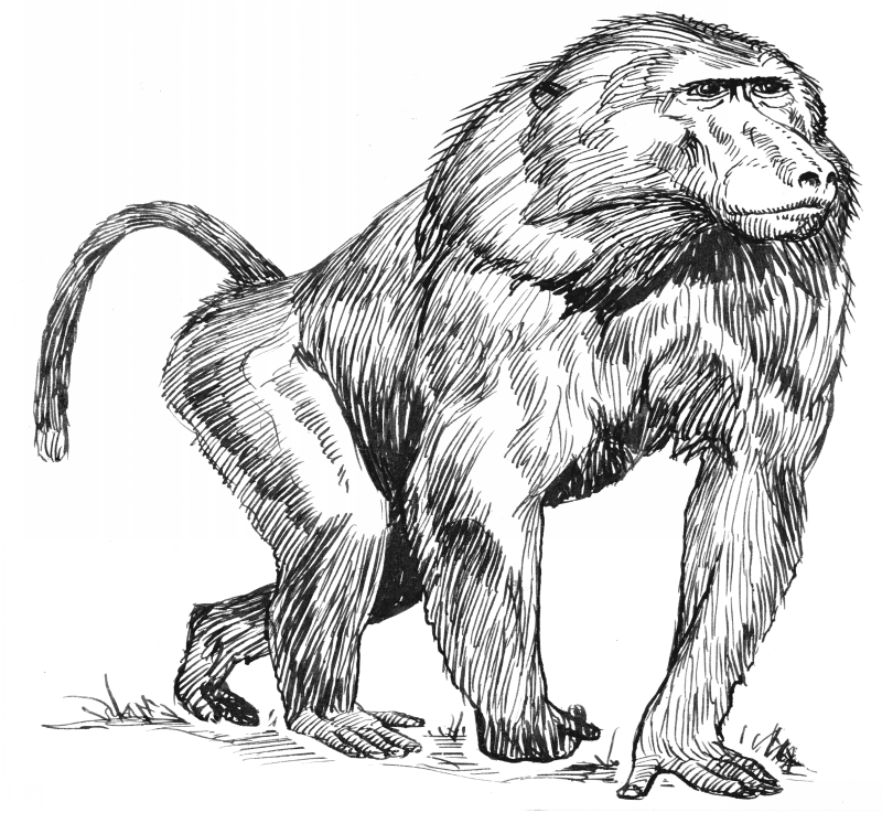 Awesome grey-ink walking baboon tattoo design