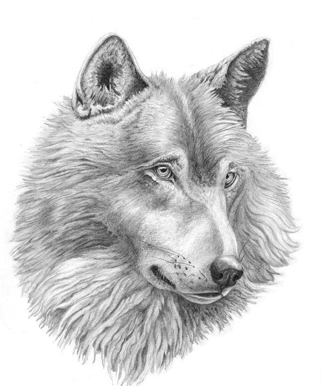 Beautiful calm grey-pencil wolf portrait tattoo design
