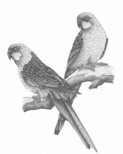 black and white exotic bird couple tattoo design. Black Bedroom Furniture Sets. Home Design Ideas