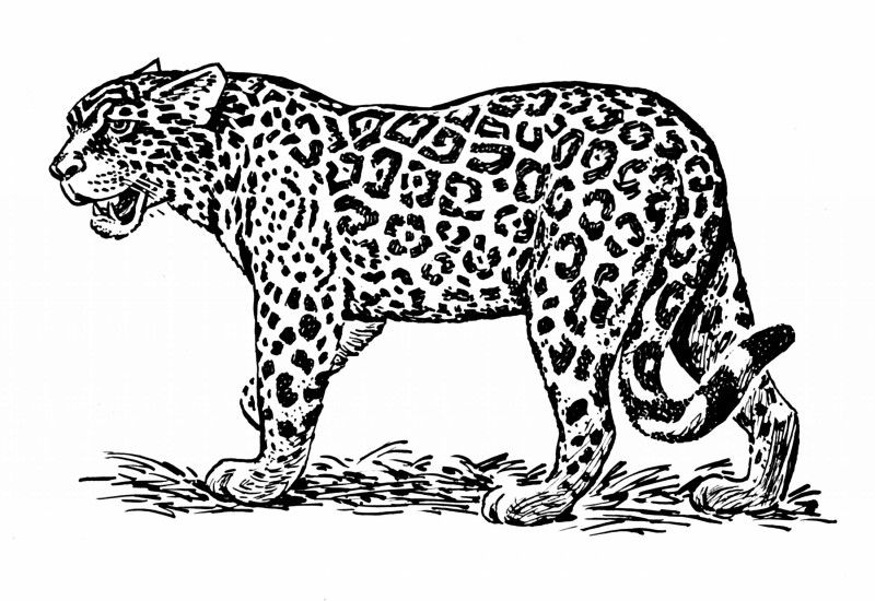 Black-and-white flexible jaguar standing on grass tattoo design