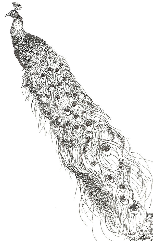 Black And White Peacock With Extra Long Tail Tattoo Design