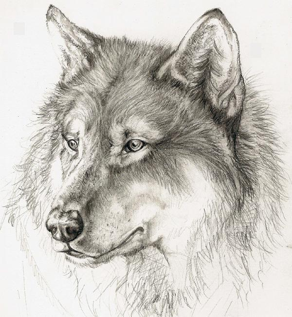 Bonny grey wolf portrait tattoo design