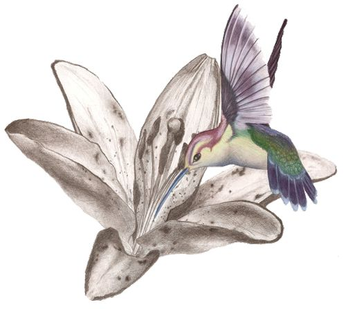 Colorful hummingbird and black-and-white hibiscus flower tattoo design
