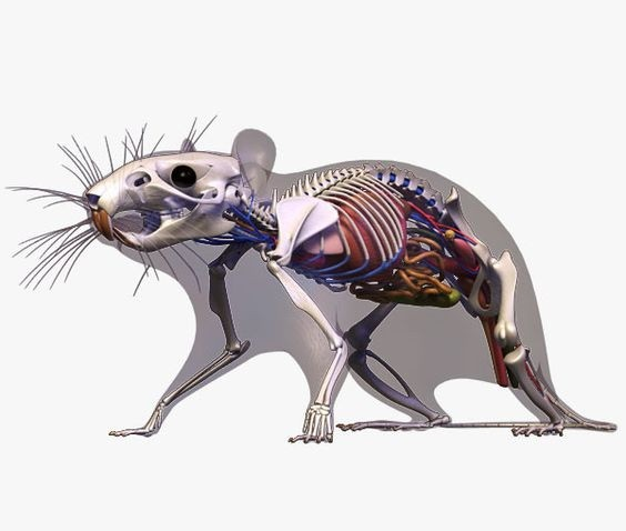 Colorful rodent anatomy in grey skin tattoo design
