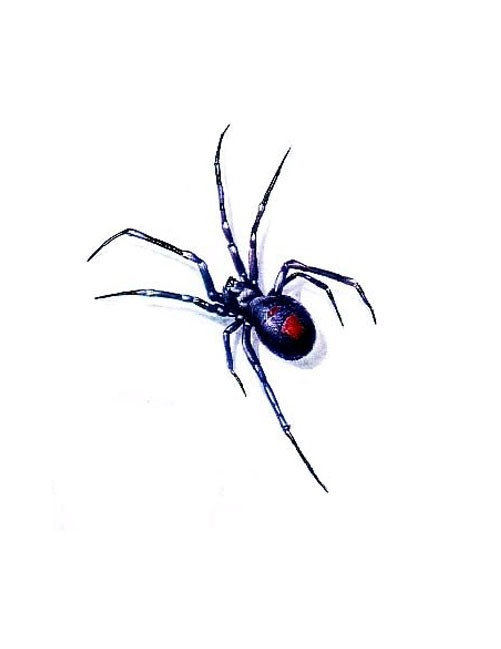 Cool colorful black widow spider tattoo design