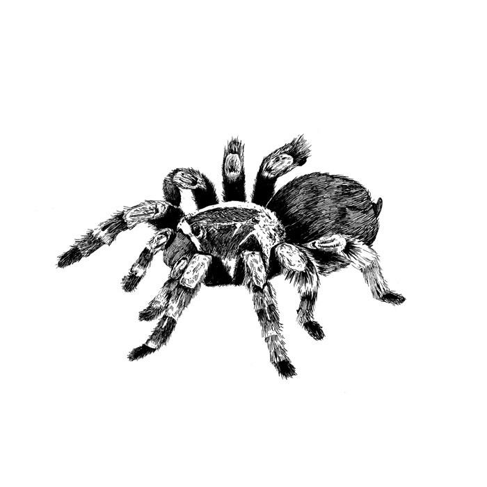 Cute fluffy black-and-white tarantula spider tattoo design