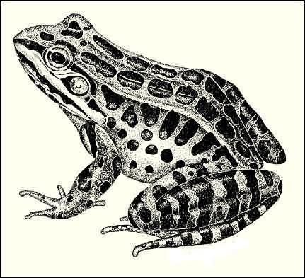 Dotwork spotted sitting frog tattoo design