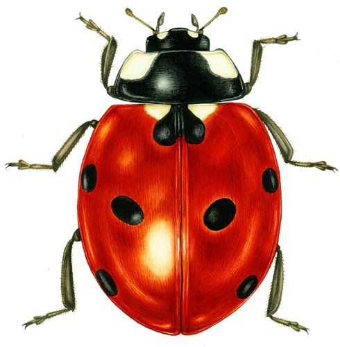 Gorgeous gigant red-and-black ladybug tattoo design
