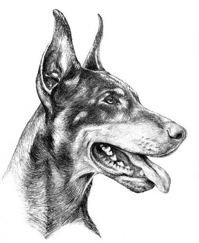 Gorgeous grey-ink doberman in profile tattoo design