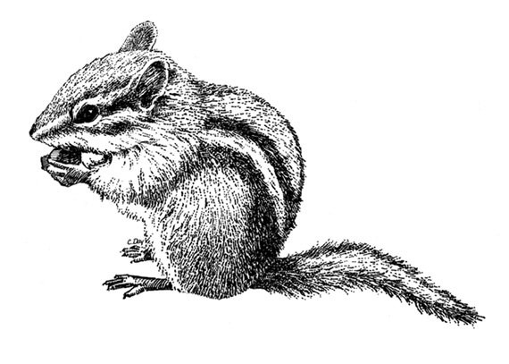 Grey striped rodent gnawling a nut tattoo design