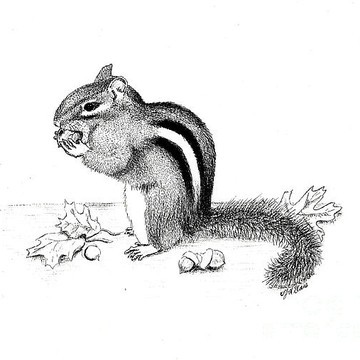 Grey striped rodent gnawling acorns tattoo design