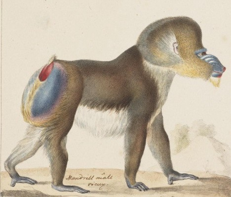 Lordy colorful walking baboon tattoo design