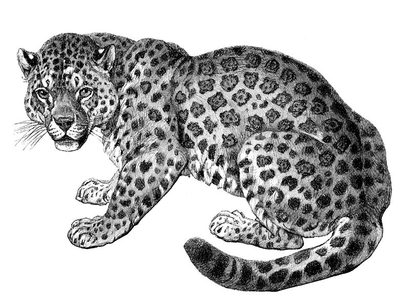 Lovely black-and-grey lying jaguar tattoo design