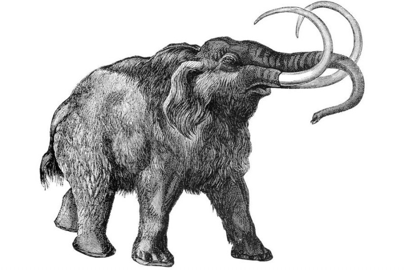 Nice pleased black-ink mammoth walking to the right tattoo design