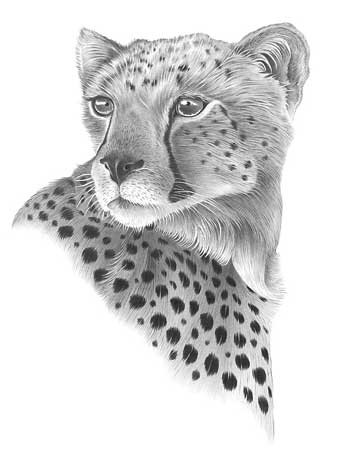 Pretty grey-ink consentrated cheetah portrait tattoo design