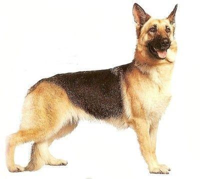 Proud realistic colored german shepherd dog tattoo design