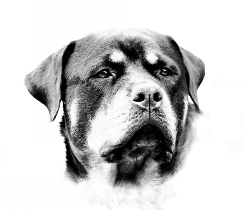Realistic black-and-white rottweiler muzzle tattoo design