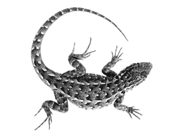 Realistic grey-scale lizard tattoo design