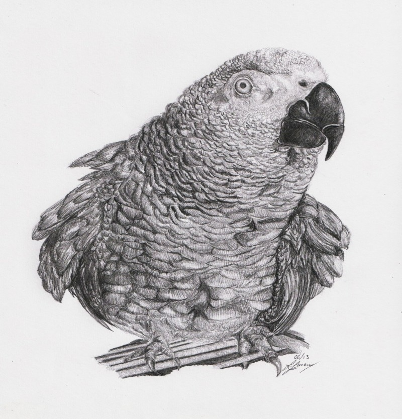 Realistic grey afrian parrot tattoo design by Zoe Jackson 21
