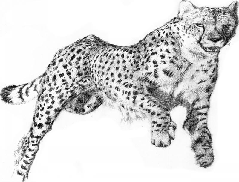 Realistic pencil-work running cheetah tattoo design by Renadrawer