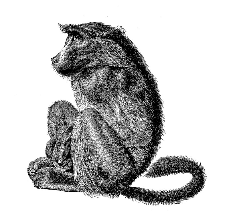 Shy black-and-white sitting baboon tattoo design