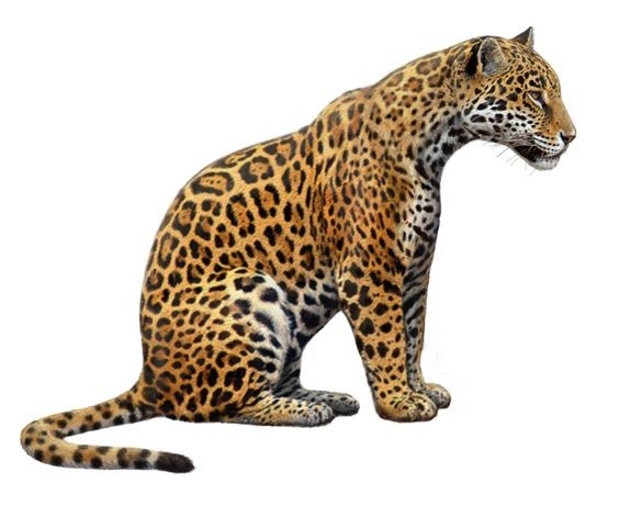 Sweet calm colorful sitting jaguar tattoo design