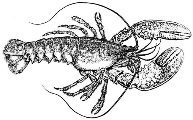 Vintage dotwork lobster water animal tattoo design