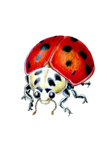 White-headed ladybug with red testa tattoo design