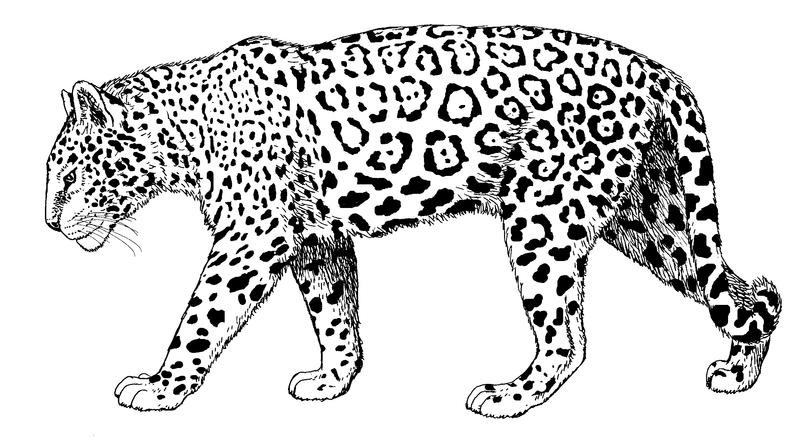 Wonderful calm walking jaguar tattoo design