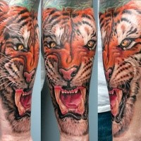 Realism style colored forearm tattoo of large roaring tiger